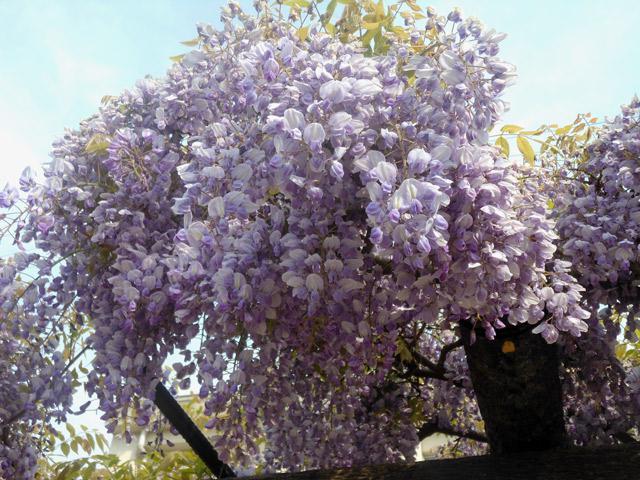 今月の花:藤 2013年4月